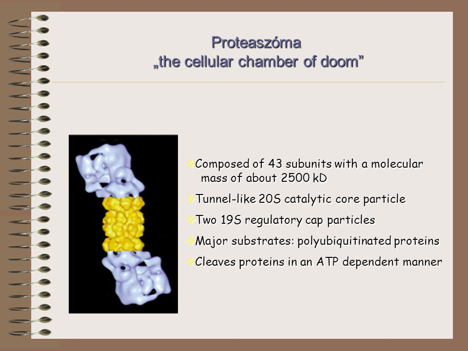 "Proteaszóma ""the cellular chamber of doom  Composed of 43 subunits with a molecular mass of about 2500 kD  Tunnel-like 20S catalytic core particle  Two 19S regulatory cap particles  Major substrates: polyubiquitinated proteins  Cleaves proteins in an ATP dependent manner"