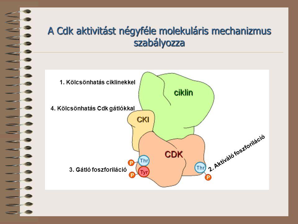 P P P Thr Tyr CDK ciklin CKI 1. Kölcsönhatás ciklinekkel 3. Gátló foszforiláció 2. Aktíváló foszforiláció 4. Kölcsönhatás Cdk gátlókkal A Cdk aktivitá