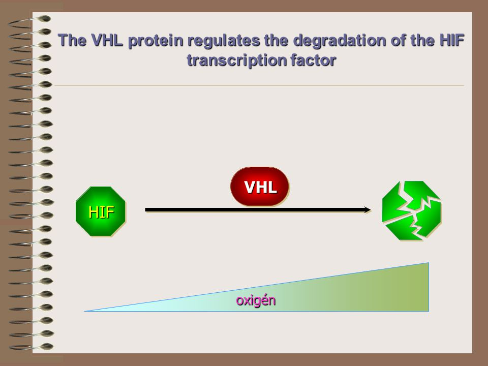 HIF VHL oxigén The VHL protein regulates the degradation of the HIF transcription factor