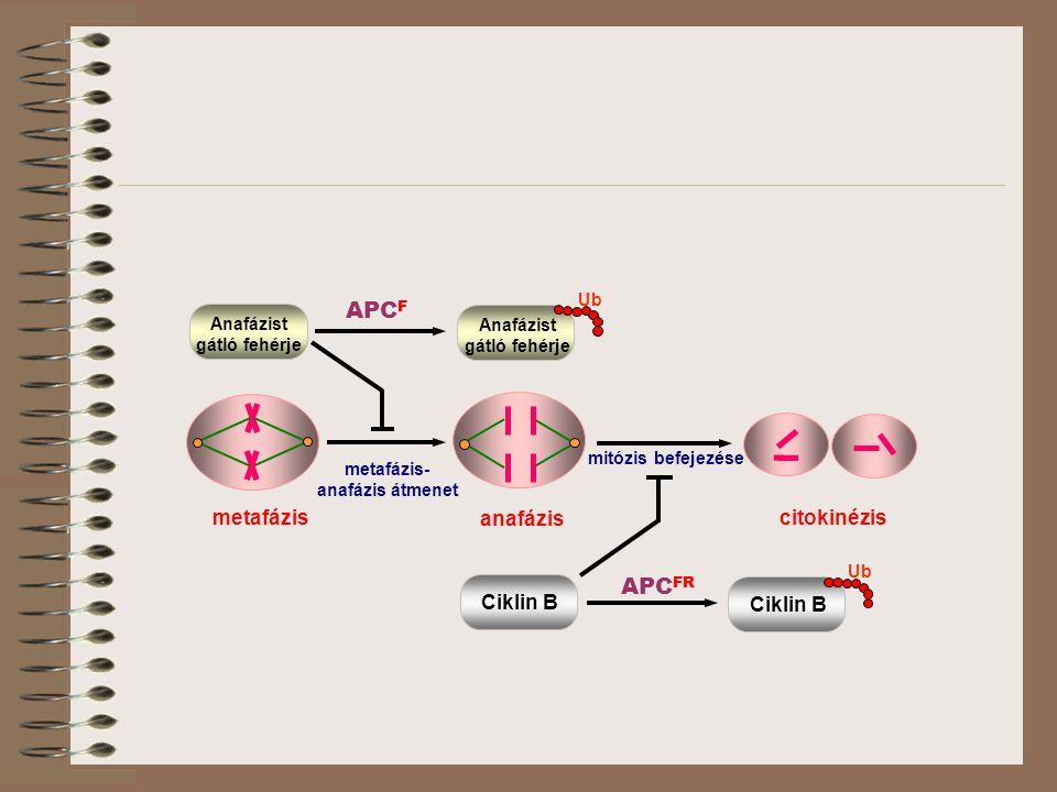 mitózis befejezése metafázis- anafázis átmenet metafázis anafázis citokinézis Anafázist gátló fehérje Ub Anafázist gátló fehérje Ciklin B Ub Ciklin B