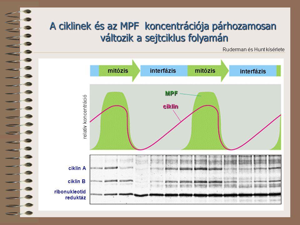 ciklin A ciklin B ribonukleotid reduktáz MPF ciklin mitózis interfázis relatív koncentráció A ciklinek és az MPF koncentrációja párhozamosan változik