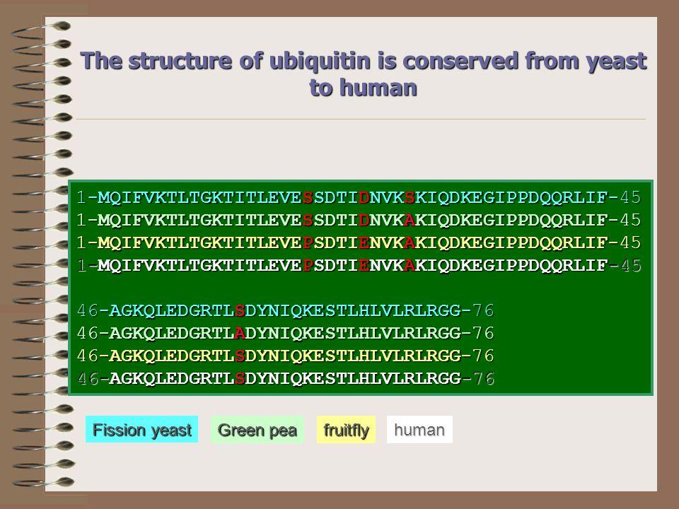 Az ubiquitin poliproteinként szintetizálódik Ubiquitin UbiquitinUbiquitinUbiquitin Ribosomal protein Transzkripció/Transzláció Ub C-terminális hidroláz Ub UbUb Ub