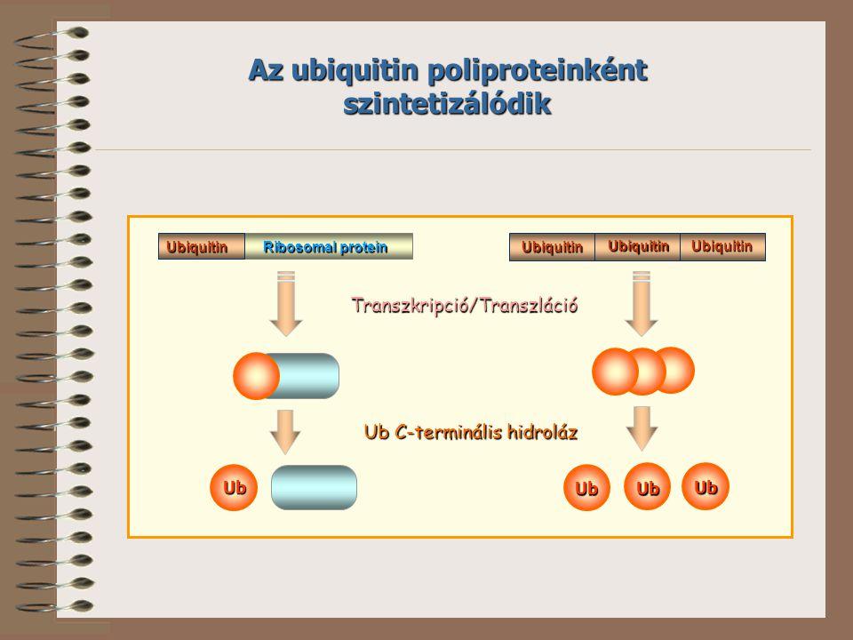 Az ubiquitin poliproteinként szintetizálódik Ubiquitin UbiquitinUbiquitinUbiquitin Ribosomal protein Transzkripció/Transzláció Ub C-terminális hidrolá