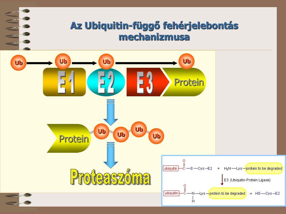 Az Ubiquitin-függő fehérjelebontás mechanizmusa Protein Protein Ub Ub Ub Ub Ub Ub Ub Ub