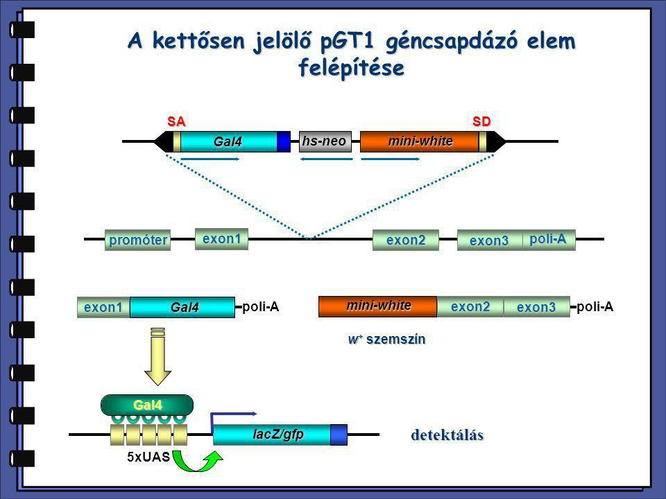 A kettősen jelölő pGT1 géncsapdázó elem felépítése Gal4 mini-whitehs-neoSASD promóter exon1 exon2 exon3 poli-A poli-Aexon1Gal4 mini-white exon2 exon3
