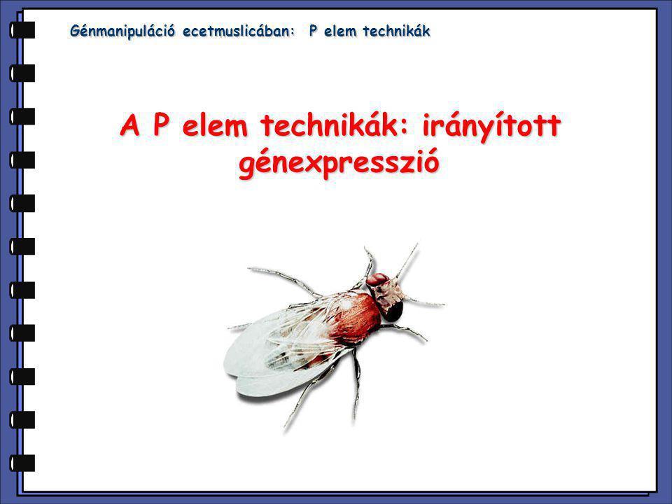 Génmanipuláció ecetmuslicában: P elem technikák A P elem technikák: irányított génexpresszió