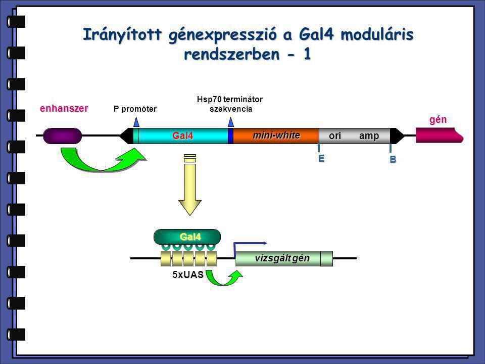 Irányított génexpresszió a Gal4 moduláris rendszerben - 1 P promóter Hsp70 terminátor szekvencia Gal4 mini-white ori amp E B enhanszer 5xUAS vizsgált