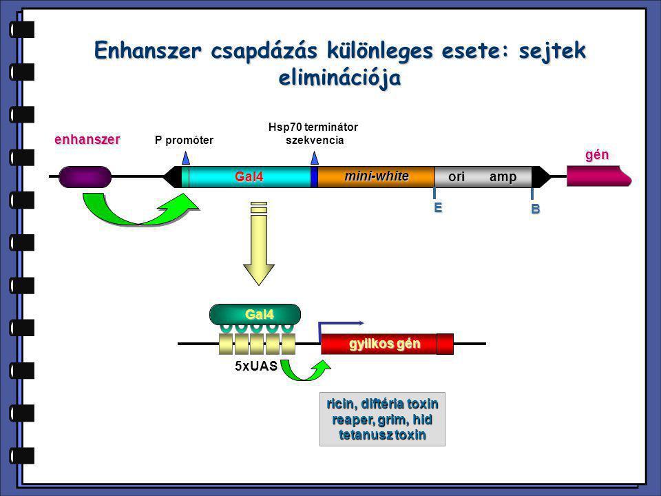 Enhanszer csapdázás különleges esete: sejtek eliminációja P promóter Hsp70 terminátor szekvencia Gal4 mini-white ori amp E B enhanszer 5xUAS gyilkos g