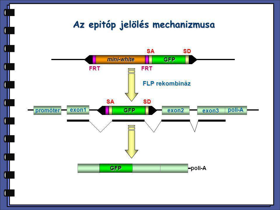 poli-Amini-white SASD GFP FRTFRT FLP rekombináz GFPpromóter exon1 exon2 exon3 poli-A SASD GFP Az epitóp jelölés mechanizmusa