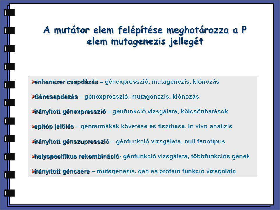 A mutátor elem felépítése meghatározza a P elem mutagenezis jellegét  enhanszer csapdázás  enhanszer csapdázás – génexpresszió, mutagenezis, klónozá
