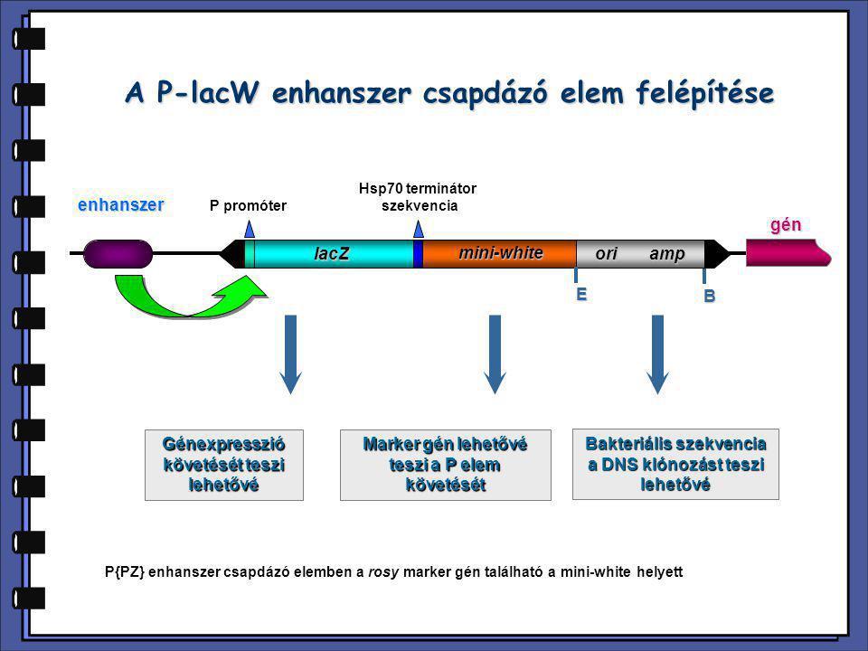 Enhanszer csapdázás különleges esete: sejtek eliminációja P promóter Hsp70 terminátor szekvencia Gal4 mini-white ori amp E B enhanszer 5xUAS gyilkos gén gén Gal4 ricin, diftéria toxin reaper, grim, hid tetanusz toxin