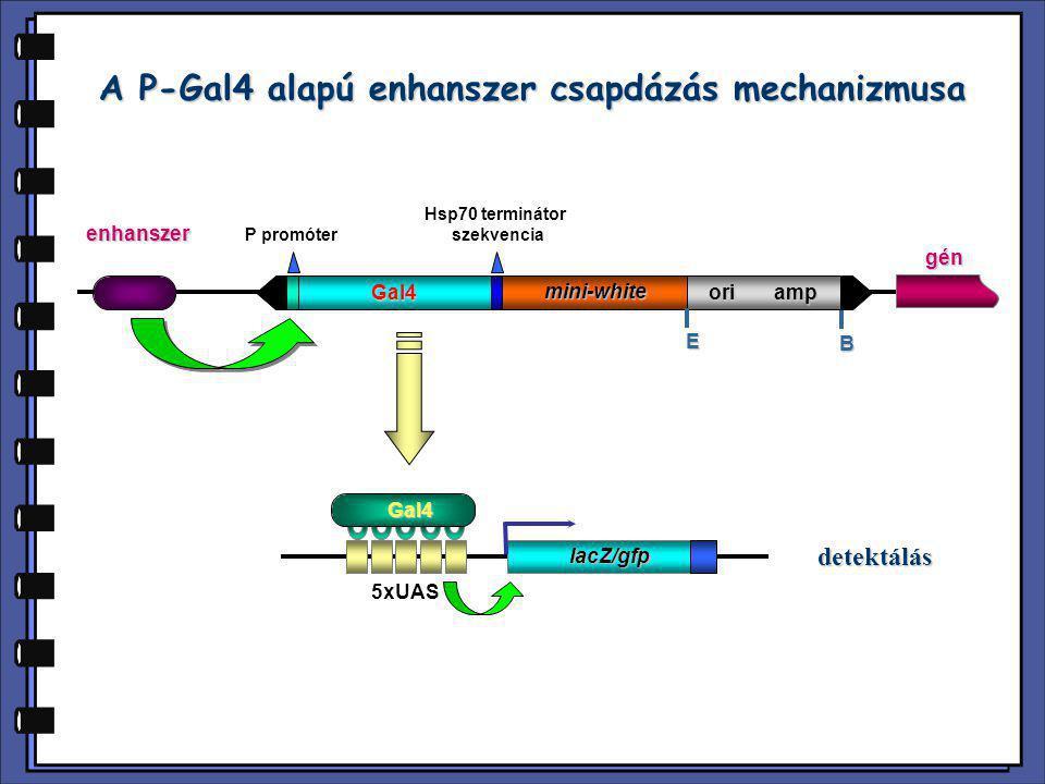 A P-Gal4 alapú enhanszer csapdázás mechanizmusa P promóter Hsp70 terminátor szekvencia Gal4 mini-white ori amp E B enhanszer 5xUAS lacZ/gfp gén detekt