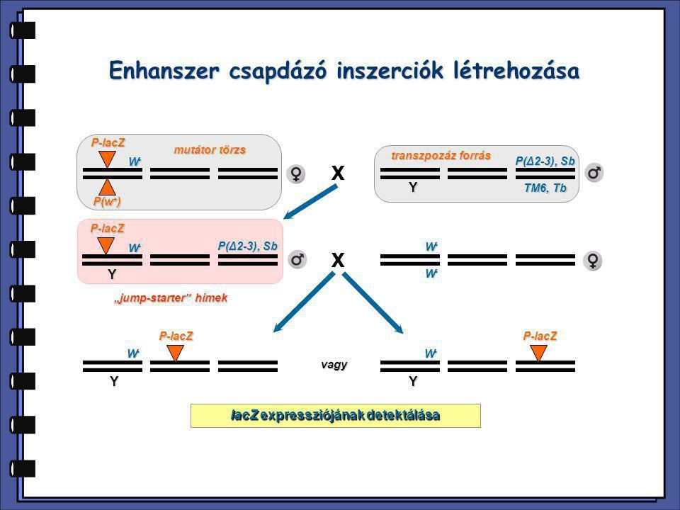 A enhanszer csapdázás előnyei  A riporter gén expressziója speciális sejtmarkerként használható  Követhetők a sejtek az egyedfejlődés során  Egyedi identitást adhat a sejteknek olyan stádiumban, amikor morfológiailag még nem különülnek el  Gyakran nem érinti a gén funkcióját, vagy hipomorf allélt eredményez  Egyszerű mutációs analízist, és gyors klónozást tesz lehetővé