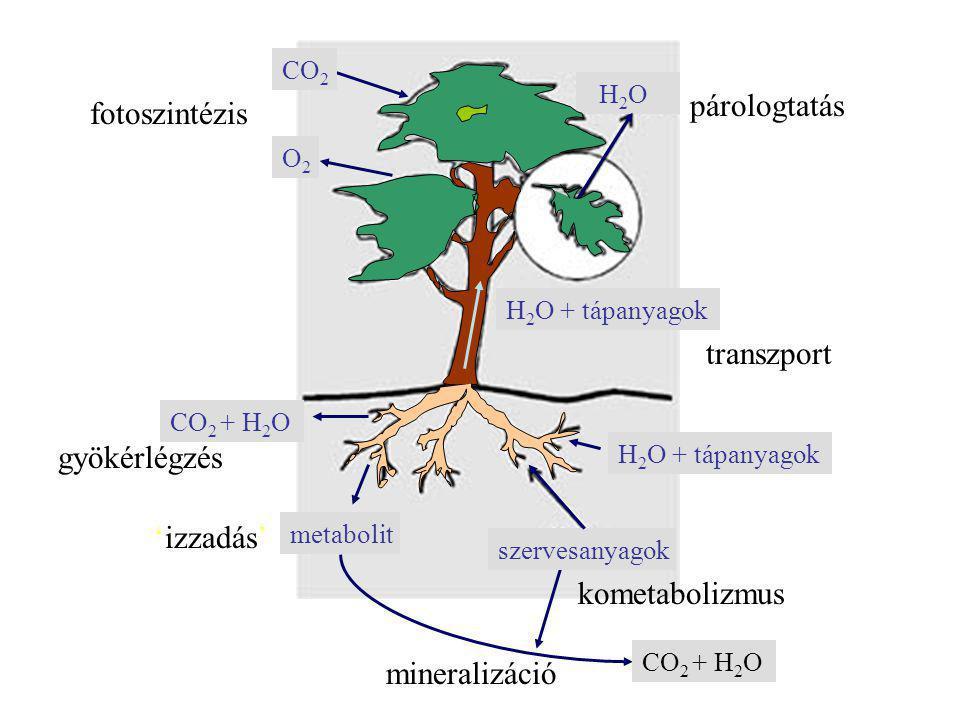CO 2 O2O2 fotoszintézis H 2 O párologtatás H 2 O + tápanyagok transzport szervesanyagok H 2 O + tápanyagok CO 2 + H 2 O gyökérlégzés 'izzadás' metabolit CO 2 + H 2 O kometabolizmus mineralizáció