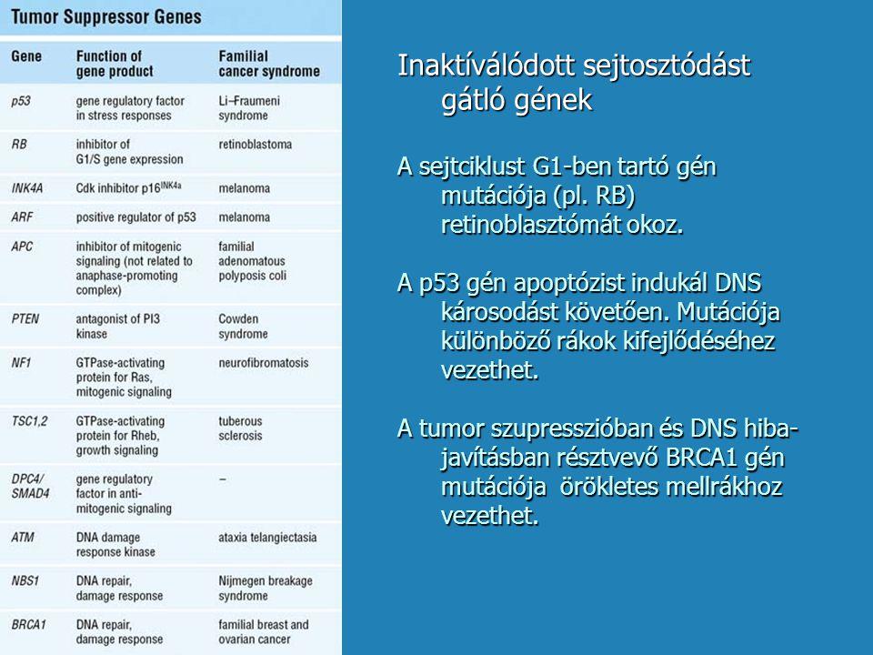 Inaktíválódott sejtosztódást gátló gének A sejtciklust G1-ben tartó gén mutációja (pl. RB) retinoblasztómát okoz. A p53 gén apoptózist indukál DNS kár
