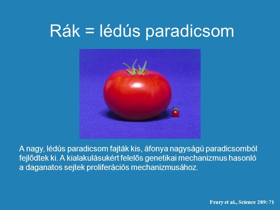 A nagy, lédús paradicsom fajták kis, áfonya nagyságú paradicsomból fejlődtek ki. A kialakulásukért felelős genetikai mechanizmus hasonló a daganatos s