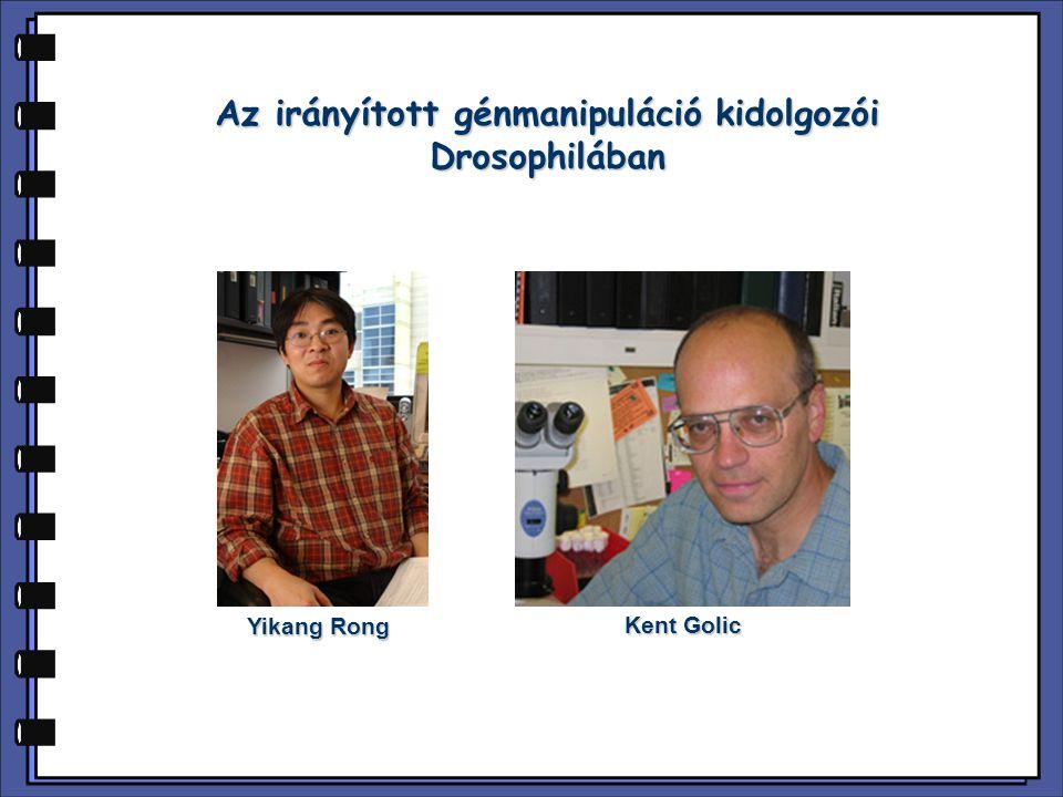 Az irányított génmanipuláció kidolgozói Drosophilában Yikang Rong Kent Golic