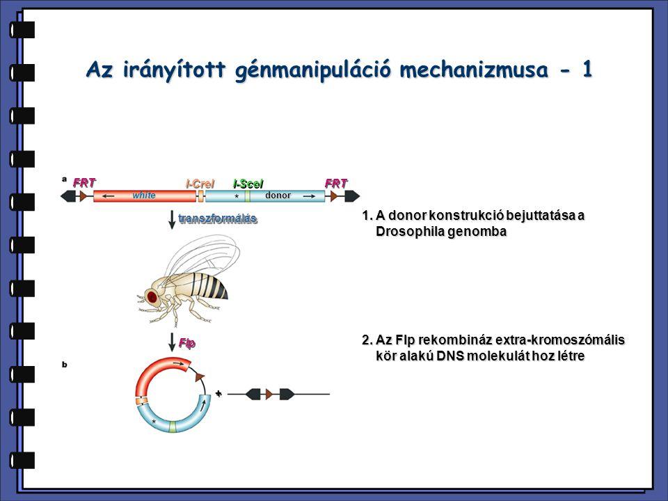Az irányított génmanipuláció mechanizmusa - 1 FRT I-CreI I-SceI FRT white + + Flp transzformálástranszformálás 1. A donor konstrukció bejuttatása a Dr