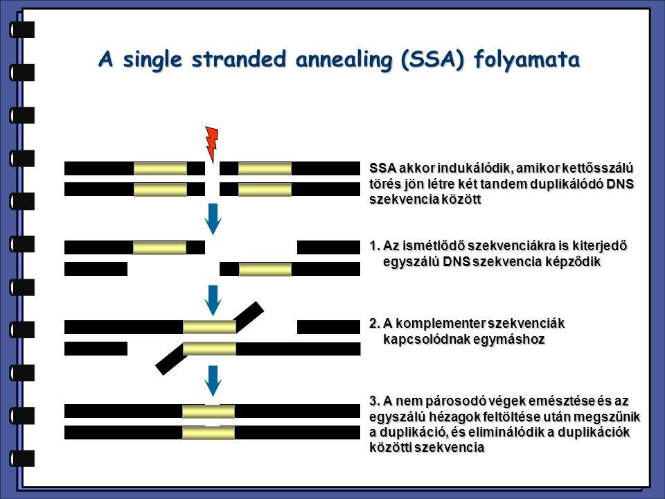 A single stranded annealing (SSA) folyamata SSA akkor indukálódik, amikor kettősszálú törés jön létre két tandem duplikálódó DNS szekvencia között 1.