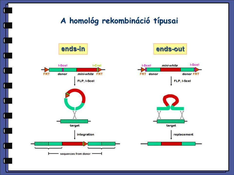 A homológ rekombináció típusai ends-in ends-out