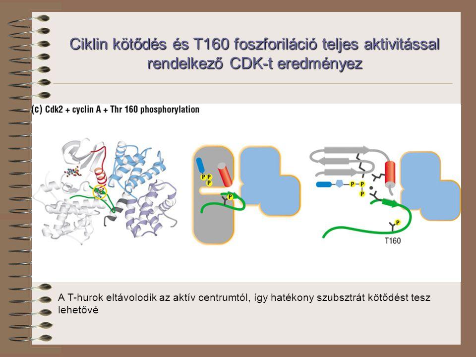 Ciklin kötődés és T160 foszforiláció teljes aktivitással rendelkező CDK-t eredményez A T-hurok eltávolodik az aktív centrumtól, így hatékony szubsztrát kötődést tesz lehetővé