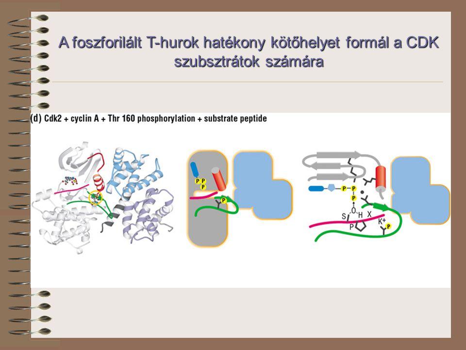 A foszforilált T-hurok hatékony kötőhelyet formál a CDK szubsztrátok számára