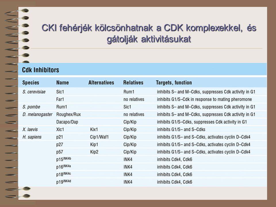 CKI fehérjék kölcsönhatnak a CDK komplexekkel, és gátolják aktivitásukat