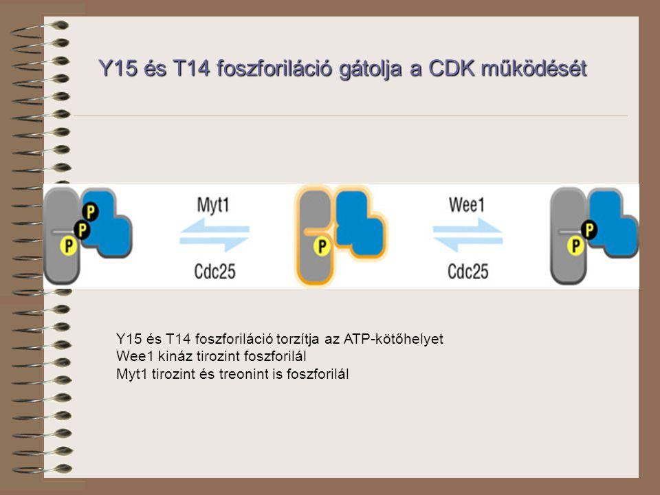 Y15 és T14 foszforiláció gátolja a CDK működését Y15 és T14 foszforiláció torzítja az ATP-kötőhelyet Wee1 kináz tirozint foszforilál Myt1 tirozint és treonint is foszforilál
