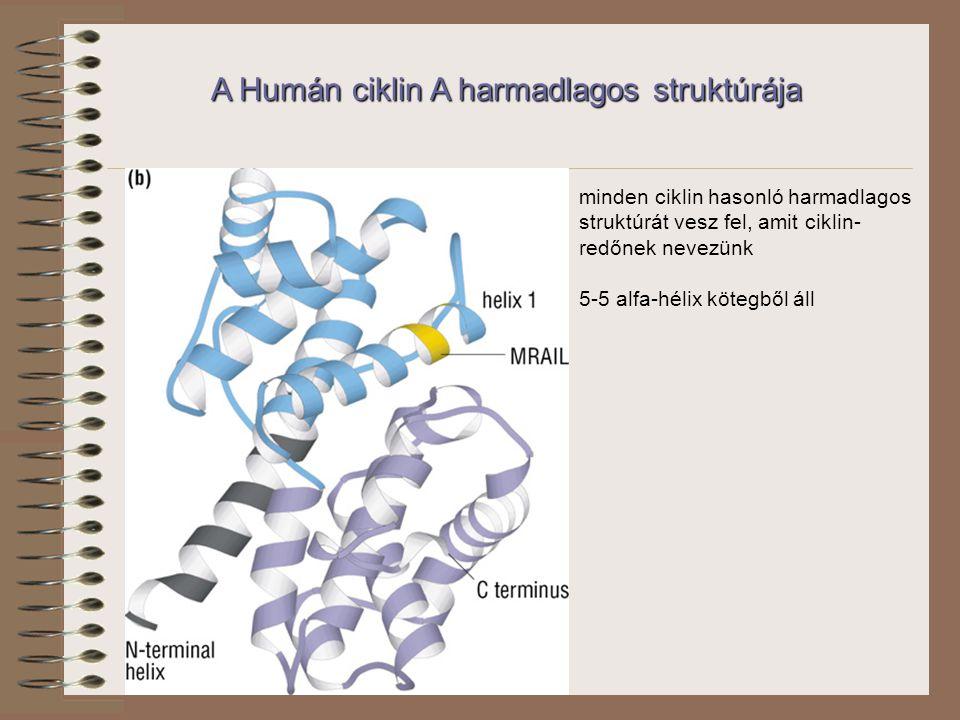 A Humán ciklin A harmadlagos struktúrája minden ciklin hasonló harmadlagos struktúrát vesz fel, amit ciklin- redőnek nevezünk 5-5 alfa-hélix kötegből áll