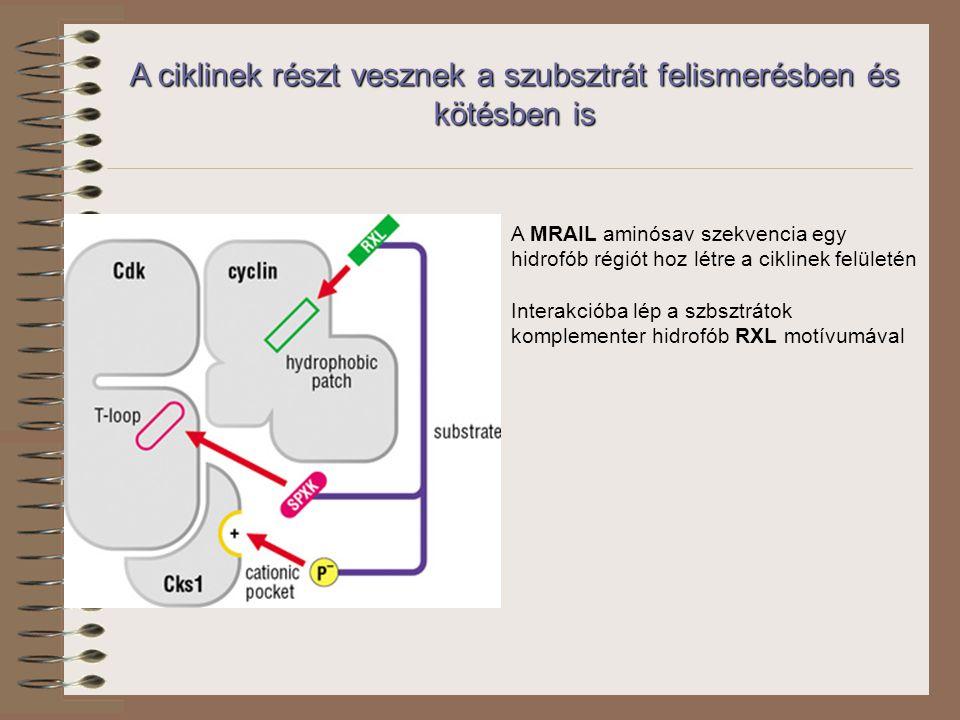 A ciklinek részt vesznek a szubsztrát felismerésben és kötésben is A MRAIL aminósav szekvencia egy hidrofób régiót hoz létre a ciklinek felületén Interakcióba lép a szbsztrátok komplementer hidrofób RXL motívumával
