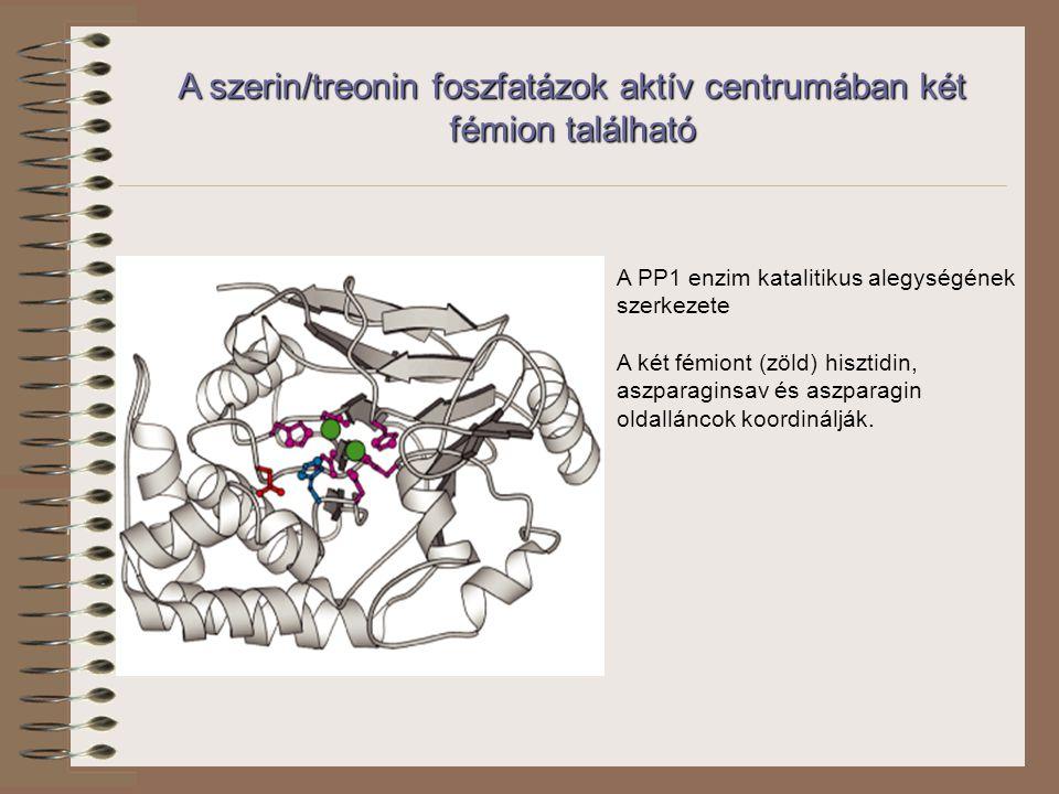 A szerin/treonin foszfatázok aktív centrumában két fémion található A PP1 enzim katalitikus alegységének szerkezete A két fémiont (zöld) hisztidin, aszparaginsav és aszparagin oldalláncok koordinálják.