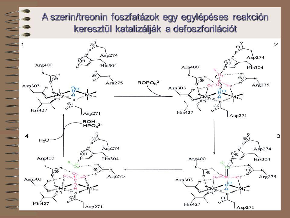 A szerin/treonin foszfatázok egy egylépéses reakción keresztül katalizálják a defoszforilációt