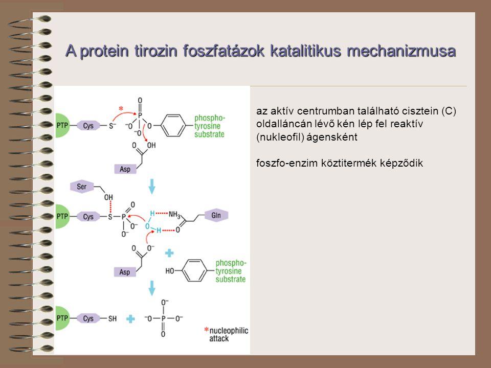 az aktív centrumban található cisztein (C) oldalláncán lévő kén lép fel reaktív (nukleofil) ágensként foszfo-enzim köztitermék képződik A protein tirozin foszfatázok katalitikus mechanizmusa