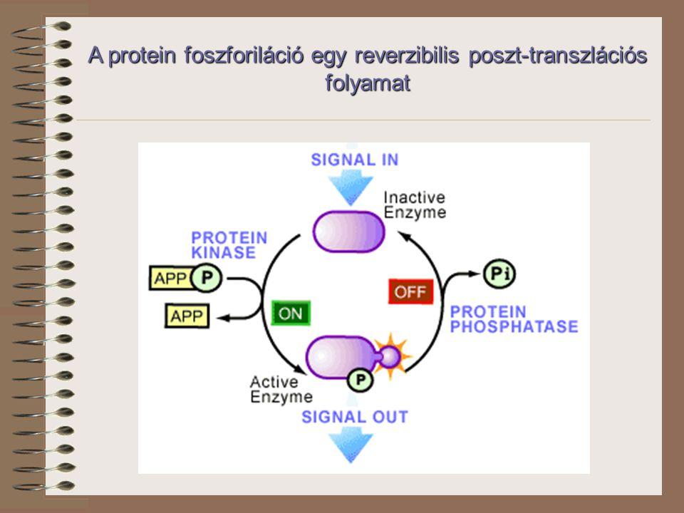 A protein foszforiláció egy reverzibilis poszt-transzlációs folyamat