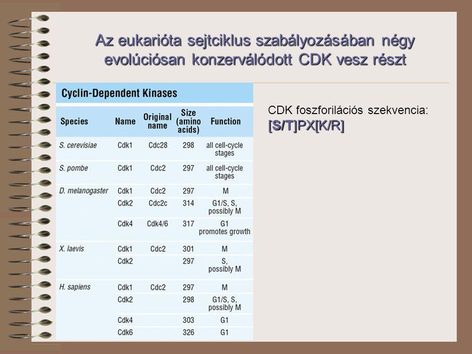 CDK foszforilációs szekvencia: [S/T]PX[K/R] Az eukarióta sejtciklus szabályozásában négy evolúciósan konzerválódott CDK vesz részt