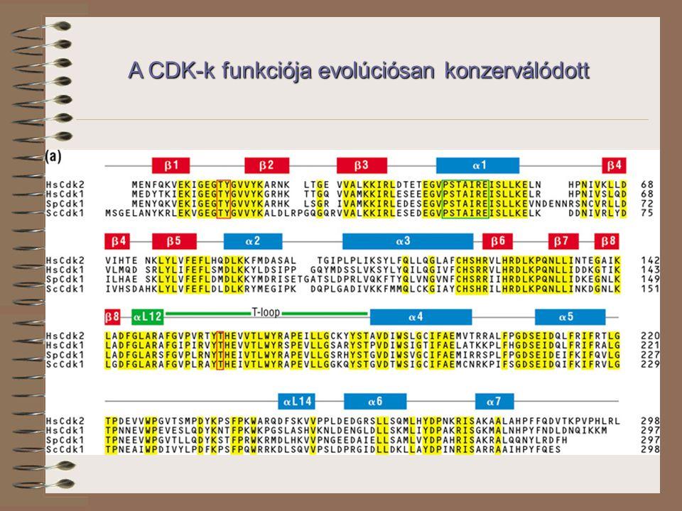 A CDK-k funkciója evolúciósan konzerválódott