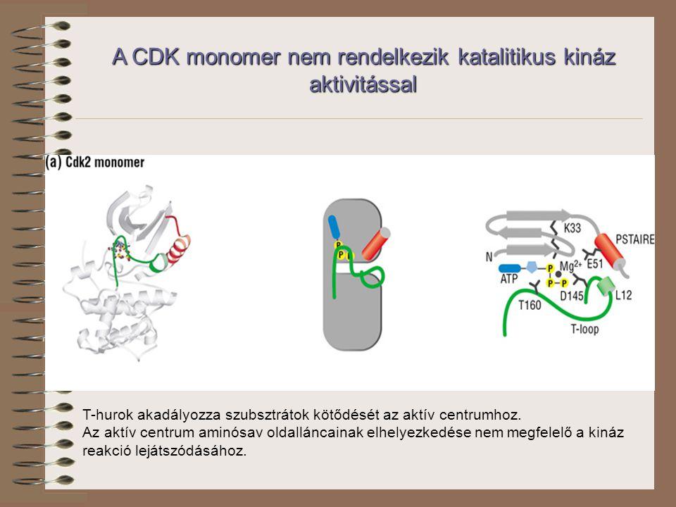 A CDK monomer nem rendelkezik katalitikus kináz aktivitással T-hurok akadályozza szubsztrátok kötődését az aktív centrumhoz.