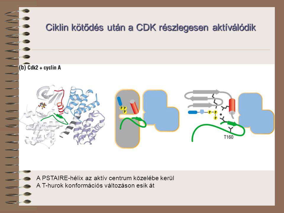 Ciklin kötődés után a CDK részlegesen aktíválódik A PSTAIRE-hélix az aktív centrum közelébe kerül A T-hurok konformációs változáson esik át