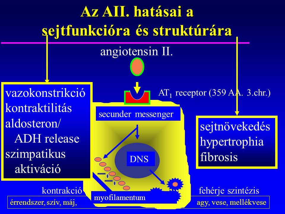 érrendszer, szív, máj, agy, vese, mellékvese Az AII. hatásai a sejtfunkcióra és struktúrára angiotensin II. AT 1 receptor (359 AA. 3.chr.) secunder me