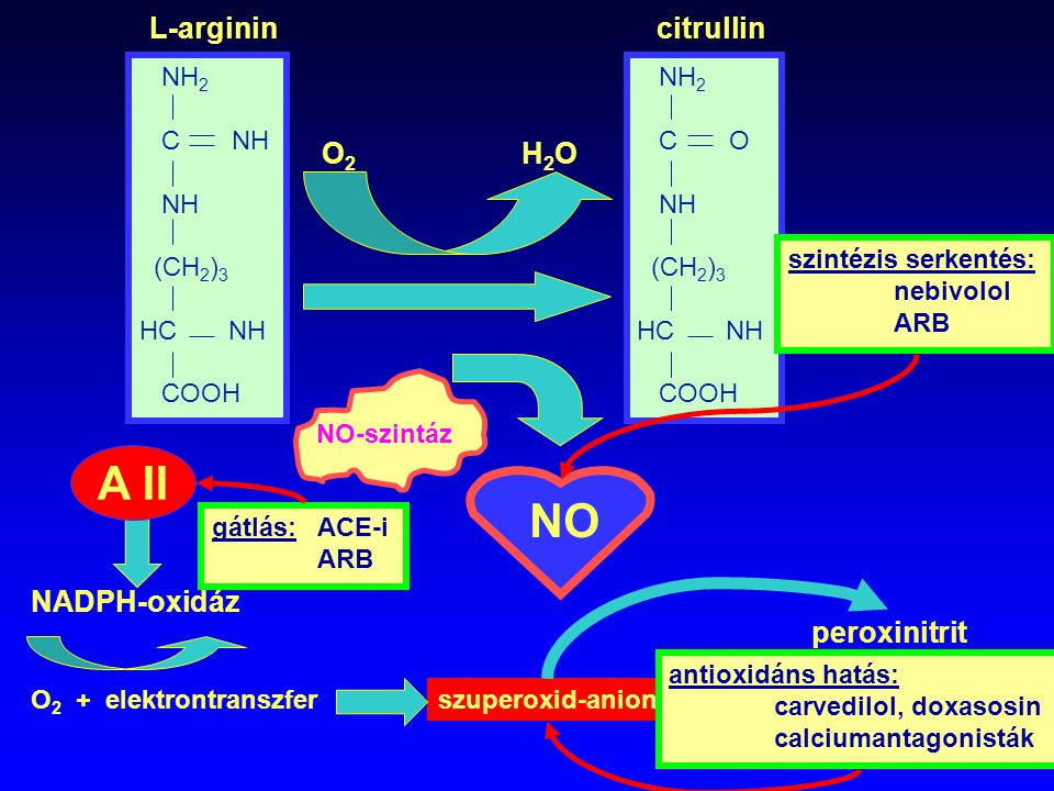 A II NH 2 C NH NH (CH 2 ) 3 HC NH COOH NH 2 C O NH (CH 2 ) 3 HC NH COOH O2O2 H2OH2O NO-szintáz NO O 2 + elektrontranszfer NADPH-oxidáz szuperoxid-anio