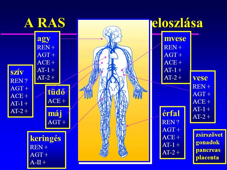 A RAS eloszlása agy REN + AGT + ACE + AT-1 + AT-2 + szív REN ? AGT + ACE + AT-1 + AT-2 + tüdő ACE + máj AGT + érfal REN ? AGT + ACE + AT-1 + AT-2 + mv
