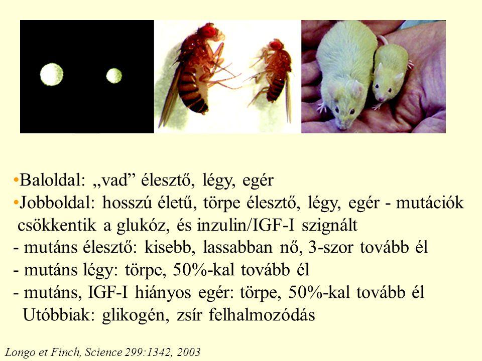 """Longo et Finch, Science 299:1342, 2003 Baloldal: """"vad élesztő, légy, egér Jobboldal: hosszú életű, törpe élesztő, légy, egér - mutációk csökkentik a glukóz, és inzulin/IGF-I szignált - mutáns élesztő: kisebb, lassabban nő, 3-szor tovább él - mutáns légy: törpe, 50%-kal tovább él - mutáns, IGF-I hiányos egér: törpe, 50%-kal tovább él Utóbbiak: glikogén, zsír felhalmozódás"""