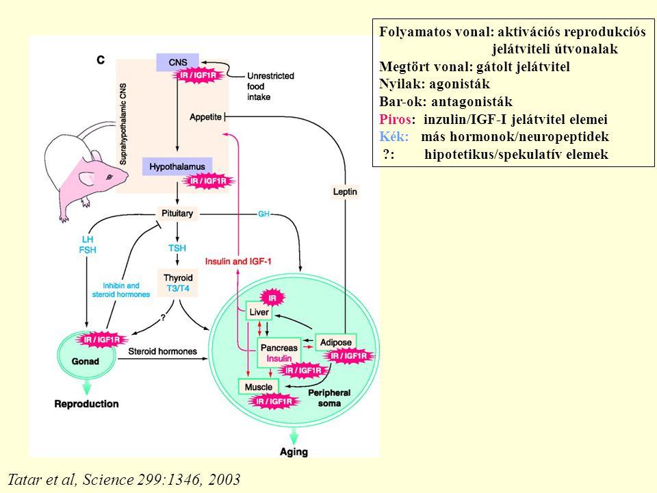 Tatar et al, Science 299:1346, 2003 Folyamatos vonal: aktivációs reprodukciós jelátviteli útvonalak Megtört vonal: gátolt jelátvitel Nyilak: agonisták Bar-ok: antagonisták Piros: inzulin/IGF-I jelátvitel elemei Kék: más hormonok/neuropeptidek ?: hipotetikus/spekulatív elemek