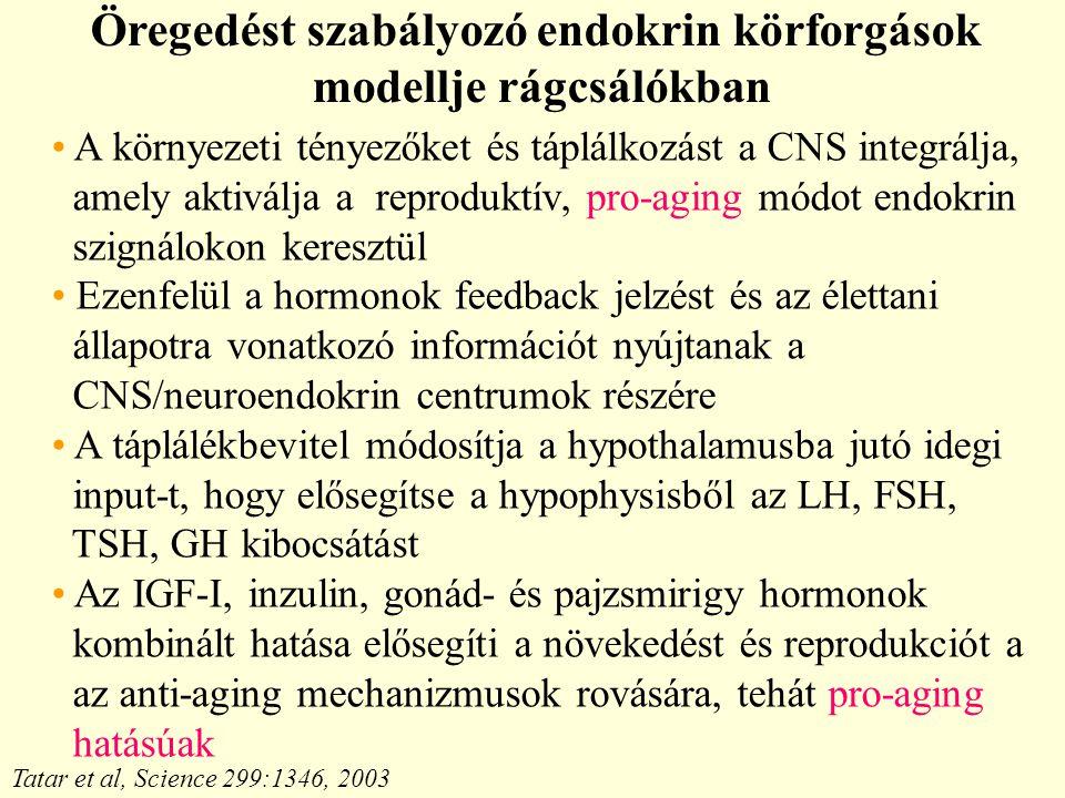 Öregedést szabályozó endokrin körforgások modellje rágcsálókban Tatar et al, Science 299:1346, 2003 A környezeti tényezőket és táplálkozást a CNS integrálja, amely aktiválja a reproduktív, pro-aging módot endokrin szignálokon keresztül Ezenfelül a hormonok feedback jelzést és az élettani állapotra vonatkozó információt nyújtanak a CNS/neuroendokrin centrumok részére A táplálékbevitel módosítja a hypothalamusba jutó idegi input-t, hogy elősegítse a hypophysisből az LH, FSH, TSH, GH kibocsátást Az IGF-I, inzulin, gonád- és pajzsmirigy hormonok kombinált hatása elősegíti a növekedést és reprodukciót a az anti-aging mechanizmusok rovására, tehát pro-aging hatásúak