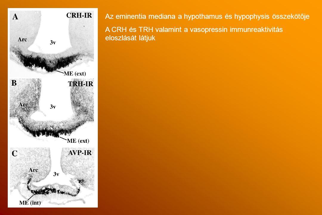 Az eminentia mediana a hypothamus és hypophysis összekötője A CRH és TRH valamint a vasopressin immunreaktivitás eloszlását látjuk