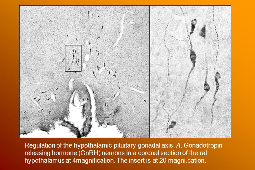 Az organum vasculorum laminae terminalis területén penetráló capillarisok áttörik a vér-agy gátat, elérik a szomjuság és vasopressin release osmoreceptorait