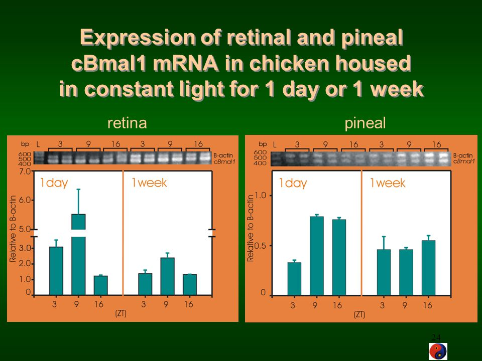 24 retinapineal Expression of retinal and pineal cBmal1 mRNA in chicken housed in constant light for 1 day or 1 week