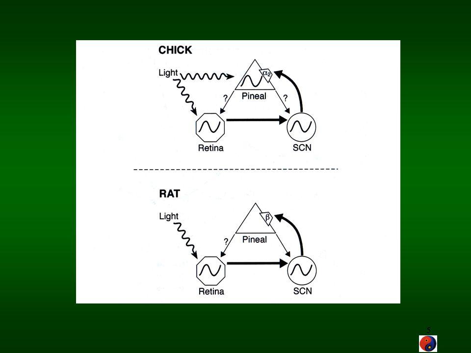 16 Clock-genes in Drosophila and mammals PERIOD1 PERIOD2 PERIOD3 NLS bHLH/PAS PERIOD TIMELESS NLS CLOCK CYCLE BMAL1 Doubletime casein kinase I epsilon Cryptochrome2 Cryptochrome Cryptochrome1