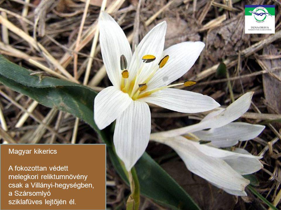 Magyar kikerics A fokozottan védett melegkori reliktumnövény csak a Villányi-hegységben, a Szársomlyó sziklafüves lejtőjén él.