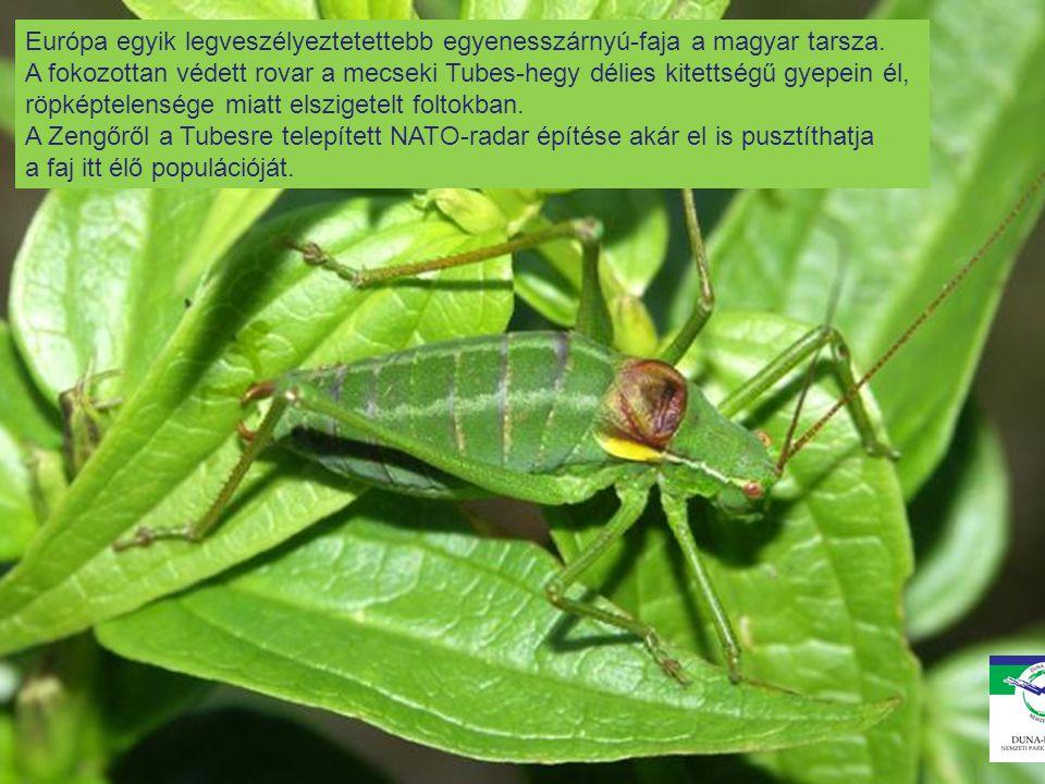 Európa egyik legveszélyeztetettebb egyenesszárnyú-faja a magyar tarsza. A fokozottan védett rovar a mecseki Tubes-hegy délies kitettségű gyepein él, r